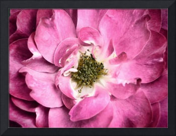 Magenta Rose Petals & Stamens ~ Macro Flower Photo