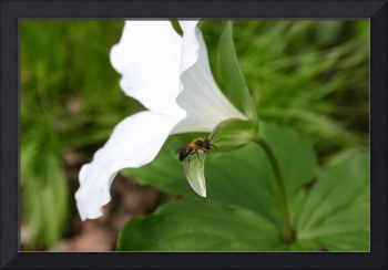 Trillium and Bee