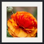 Gold and Red Ranunculus Flower by John Corney