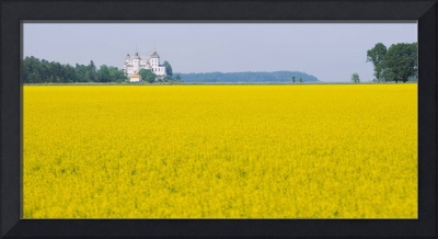 Oilseed Rapes (Brassica napus) in a field with a