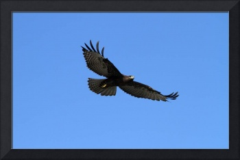 Dark Morph Red Tail In Flight