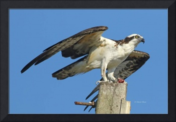 Flagler Osprey With Lunch