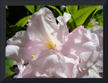 Sunlit Pink Rhododendron Flowers art prints Floral