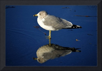 seagull-wading-reflection-1300
