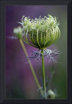 Queen Anne's Lace 3