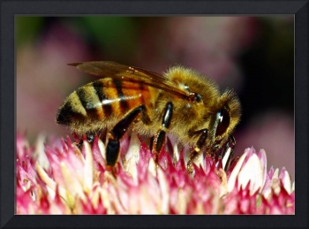 Honey Bee On Sedum