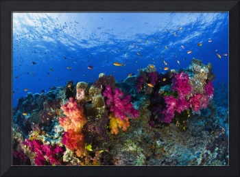 Soft Corals On Shallow Reef, Fiji