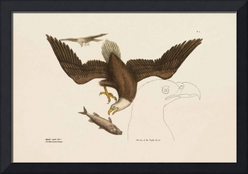 Mark Catesby~The Bald Eagle, The Natural History o