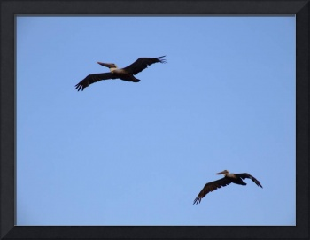 A pair of brown pelicans