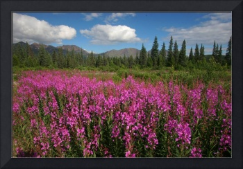 Fireweed, mountains, & clouds in Alaska