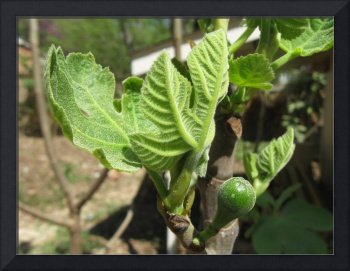 developing fig fruit