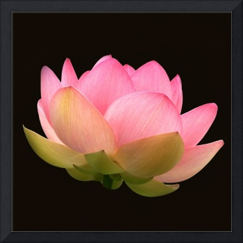Glowing Lotus Blossom