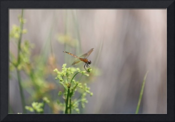 Peaceful Golden Dragonfly