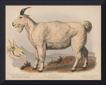 Vintage Illustration of a Goat (1874)