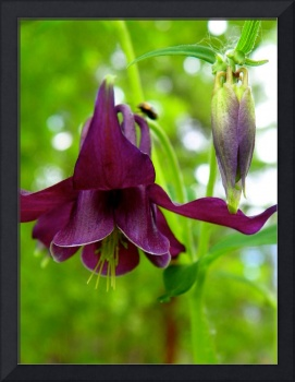 Beautiful Columbine Flower