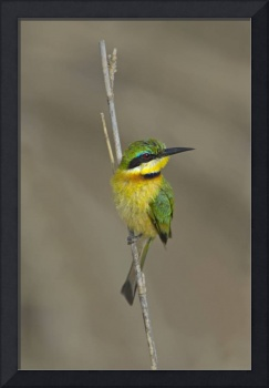 Cinnamon-chested bee-eater perching on a stem