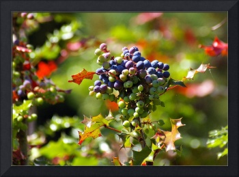 oregon grapey looking berries and foliage