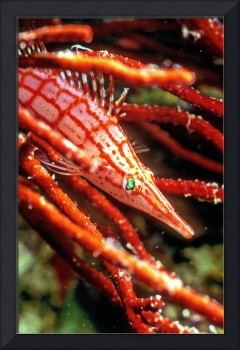 Longnose Hawkfish's Green Eyes