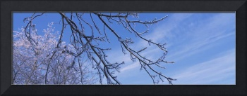 Low angle view of snow covered branches of a tree