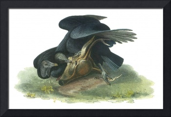 Black Vulture Bird Audubon Print