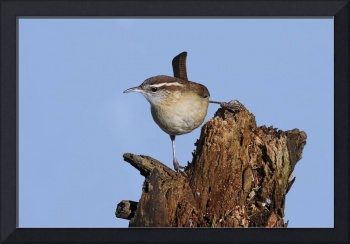 Carolina Wren Photograph