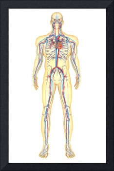 Anatomy of human body and circulatory system, fron