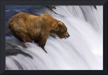 Grizzly Bear fishing at Brooks Falls, Brooks River