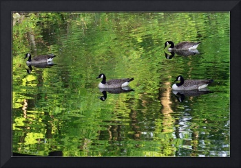 Canda Geese in Green Water