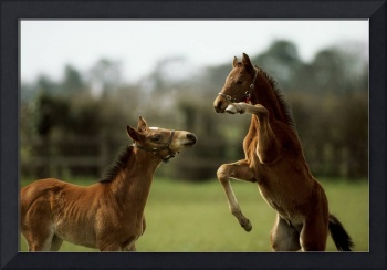 Thoroughbred Foals Playing, Ireland