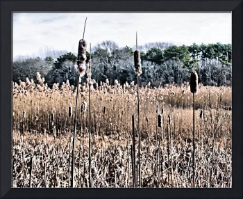 CATTAILS  EARLY  WINTER