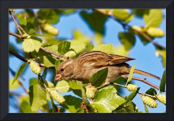 Female House Sparrow in a Tree