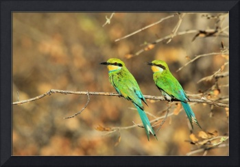 Swallow-tailed Bee-eater - African Colorful Birds