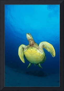 Hawaii, Green Sea Turtle Swims To Surface