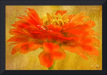 Zinnia Red Orange Color Floral Wall Art