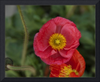 Little pink Iceland Poppy flower photography