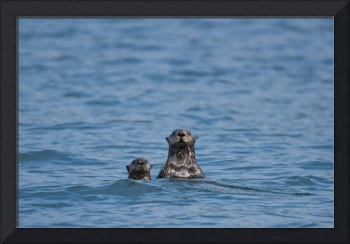 Sea otters swimming in the waters of Bristol Bay d