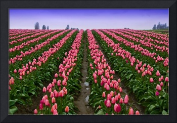 Pink Tulip Rows