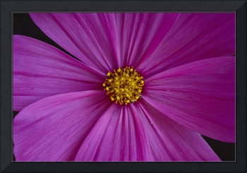 California, Close-Up Of Single Pink Aster, Yellow