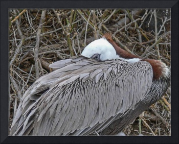 Pelican keeps an eye on chicks