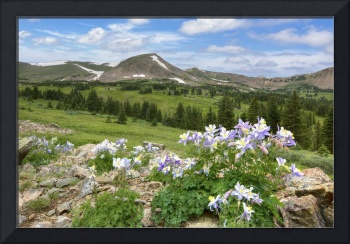 Colorado Wildflower Images - Columbine Late Mornin