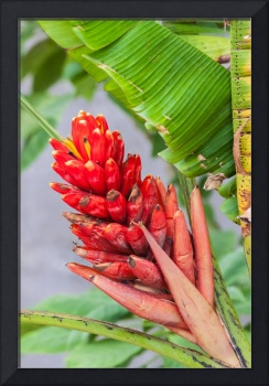 red heliconia flower