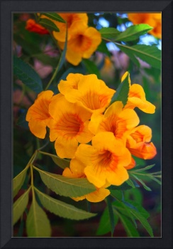 Yellow Tabebuia Trumpet Tree Flowers