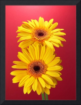 Yellow Gerbera Daisies Superb