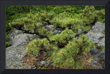 Pitch pine (Pinus rigida) growing on rocky ground
