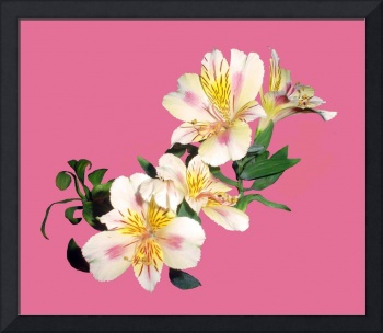 Pretty flower with a long name - Alstroemeria