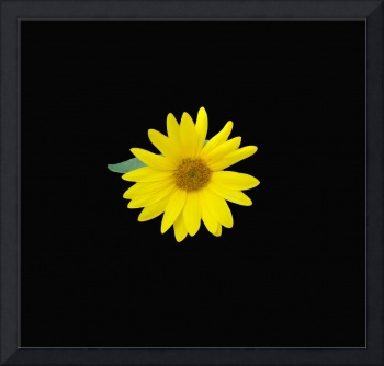 yellow sunflower centered on a dramatic black back