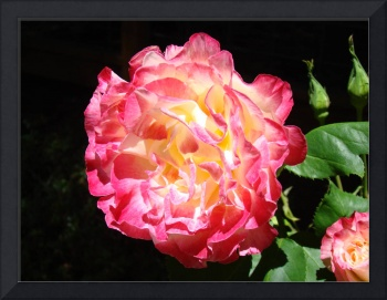 Rose Flower Garden Fine Art Prints Pink