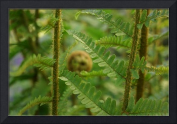 Fern Frond Curling Green Fern Leaves Art Prints