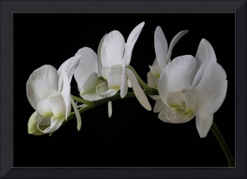 Orchids in Soft White