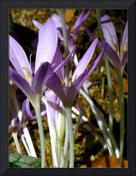 Autumn Crocus Meadow Saffron
